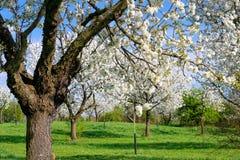 Huerta floreciente en Sunny Spring Day Imágenes de archivo libres de regalías