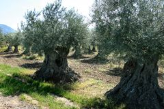 Huerta verde oliva cerca de Nyons, Francia Fotografía de archivo