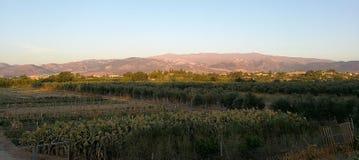 Huerta y campo de olivos Foto de archivo libre de regalías