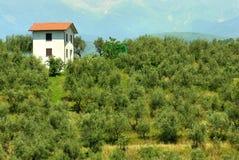 Huerta y edificio verdes olivas Imagenes de archivo