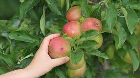 Huertas, árboles frutales, manzanas rojas Imagenes de archivo