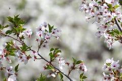 Huertas florecientes en la primavera Árboles de la huerta y flores florecientes de los jacintos Fondo del resorte Huerta de la pr Imagen de archivo libre de regalías