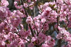 Huertas florecientes en la primavera Árboles de la huerta y flores florecientes de los jacintos Fondo del resorte Huerta de la pr Fotografía de archivo libre de regalías