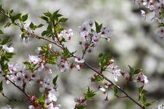 Huertas florecientes en la primavera Árboles de la huerta y flores florecientes de los jacintos Fondo del resorte Huerta de la pr Foto de archivo libre de regalías