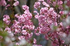 Huertas florecientes en la primavera Árboles de la huerta y flores florecientes de los jacintos Fondo del resorte Huerta de la pr Foto de archivo
