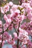 Huertas florecientes en la primavera Árboles de la huerta y flores florecientes de los jacintos Fondo del resorte Huerta de la pr Imágenes de archivo libres de regalías