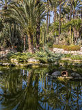 Huerto del Cura National Garden in Elche, Spain. Palm trees reflected in the pond at the Huerto del Cura National Artisitic Garden in Elche, Alicante, Spain Royalty Free Stock Photos