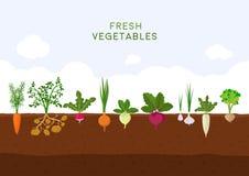 Huerto orgánico fresco en fondo del cielo azul Jardín con veggies de la raíz del diferente tipo Fije la planta de las verduras stock de ilustración