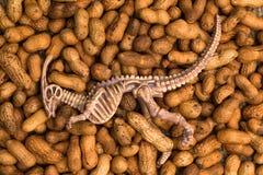 Hueso de dinosaurio en el cacahuete Imagen de archivo libre de regalías