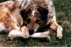 Hueso de la roedura del perro Fotografía de archivo libre de regalías