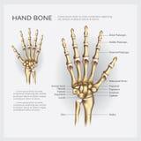 Hueso de mano humano de la anatomía Fotos de archivo
