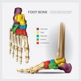 Hueso de pie humano de la anatomía ilustración del vector