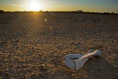 Hueso debajo del sol del desierto de la hornada Fotos de archivo libres de regalías