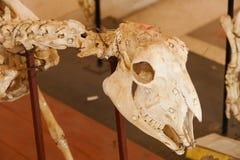 Hueso del cráneo del animal de las ovejas Fotos de archivo libres de regalías
