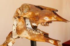 Hueso del cráneo del animal de los ciervos Imagen de archivo libre de regalías
