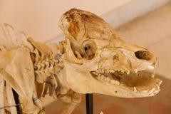 Hueso del cráneo del animal del cerdo Fotos de archivo libres de regalías
