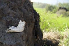 Hueso del mandíbula en roca Fotografía de archivo