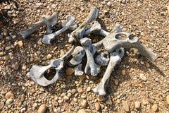 Huesos animales foto de archivo libre de regalías