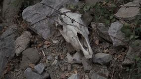 Huesos animales del cráneo y del mandíbula en árboles cerca de la casa almacen de metraje de vídeo