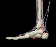 Huesos, arterias y venas de pie Fotografía de archivo