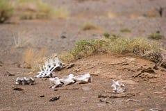Huesos blancos en el desierto de Gobi Fotos de archivo