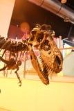 Huesos de dinosaurio Fotografía de archivo libre de regalías