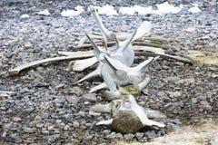 Huesos de la ballena imagen de archivo libre de regalías