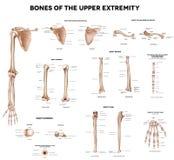 Huesos de la extremidad superior Imagenes de archivo