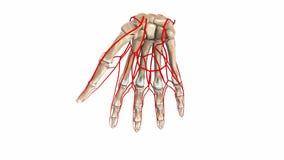 Huesos de la palma con las arterias stock de ilustración