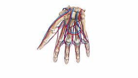 Huesos de la palma con los vasos sanguíneos ilustración del vector