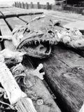 Huesos de pescados en la playa Imagen de archivo libre de regalías