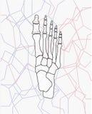 Huesos de pie 8 Imagenes de archivo