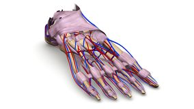 Huesos de pie con los ligamentos y la opinión de perspectiva de los vasos sanguíneos fotografía de archivo libre de regalías