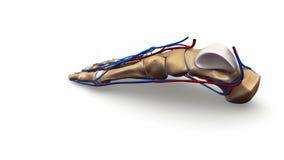 Huesos de pie con los vasos sanguíneos ilustración del vector