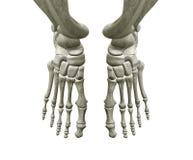 Huesos de pie correcto e izquierdo Imágenes de archivo libres de regalías