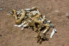Huesos del camello Imágenes de archivo libres de regalías