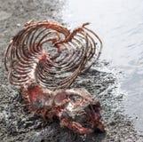 Huesos del león marino Fotografía de archivo