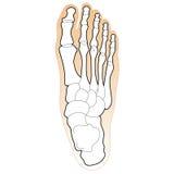 Huesos del pie humano