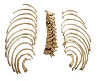 Huesos esqueléticos del cráneo Fotografía de archivo libre de regalías