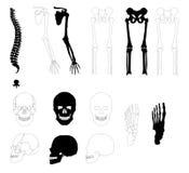 Huesos humanos Imágenes de archivo libres de regalías