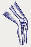 Huesos humanos de la pierna Fotografía de archivo libre de regalías