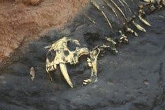 Huesos prehistóricos en roca Imágenes de archivo libres de regalías