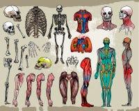 Huesos y órganos humanos Imagen de archivo libre de regalías