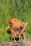 Hueva-ciervos con el bebé imágenes de archivo libres de regalías