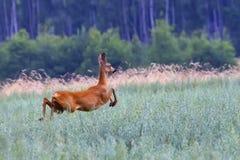 Hueva-ciervos en el funcionamiento en un claro Imagen de archivo