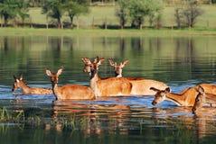 huevas de los ciervos Imagen de archivo