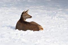 Huevas de los ciervos Imagenes de archivo