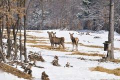 Huevas de los ciervos Fotografía de archivo
