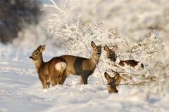 Huevas Deers en el invierno asoleado Fotos de archivo libres de regalías