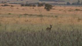 Huevas masculinas que corren en el campo en la tarde metrajes